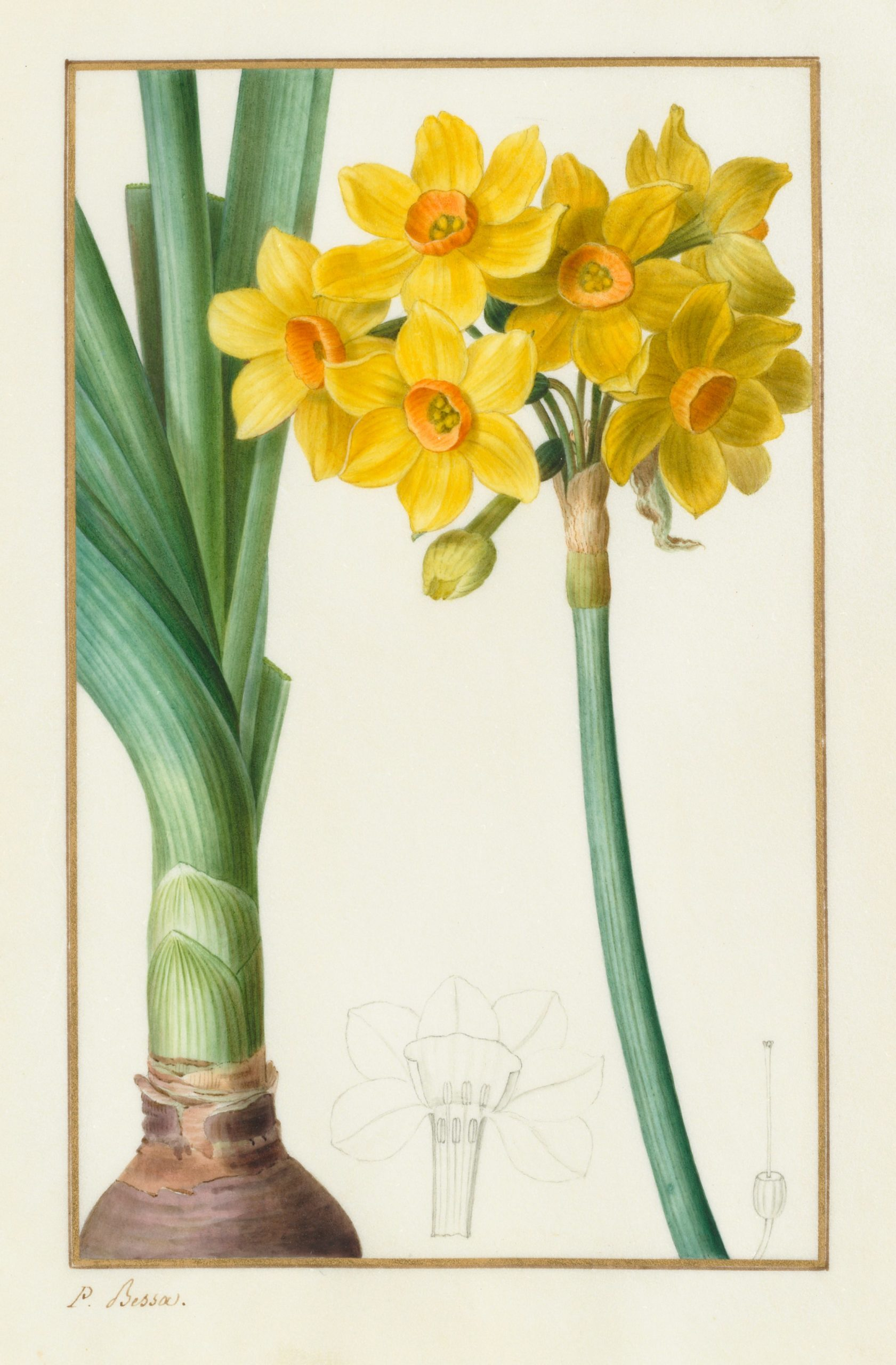 Vintage Botanical Prints - 62 in a series - Polyanthus or Cluster Narcissus (1836) from the Cleveland Museum of Art