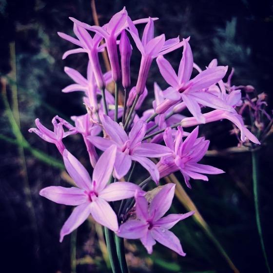 Society Garlic Flowers In The Garden via Instagram