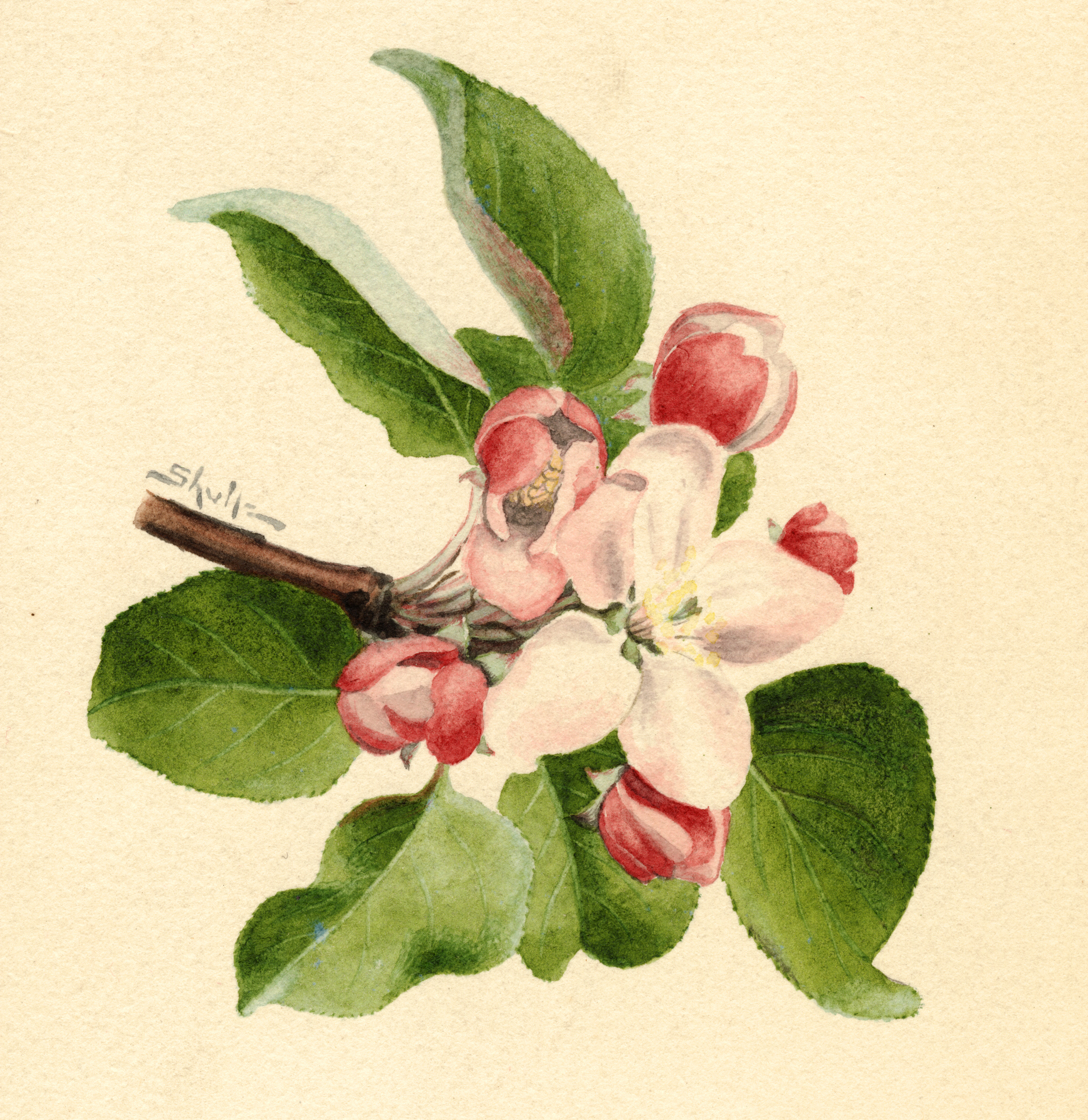 Vintage Botanical Prints - 61 in a series - Malus domestica from Agriculture Pomological Watercolor Collection (1910)