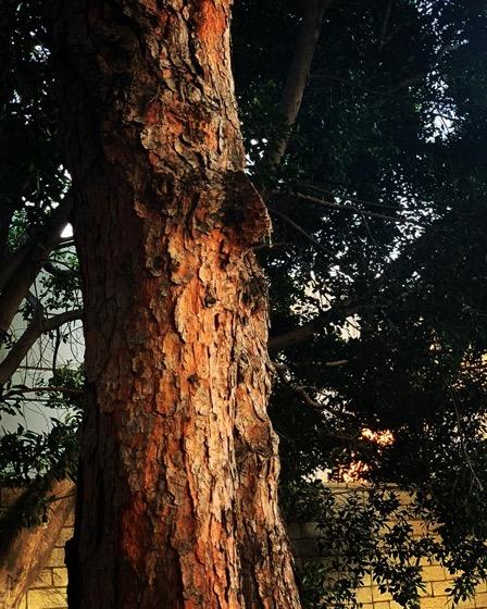 In the garden…pine tree via Instagram