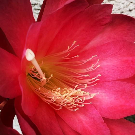 Epiphyllum Flower Closeup via Instgram