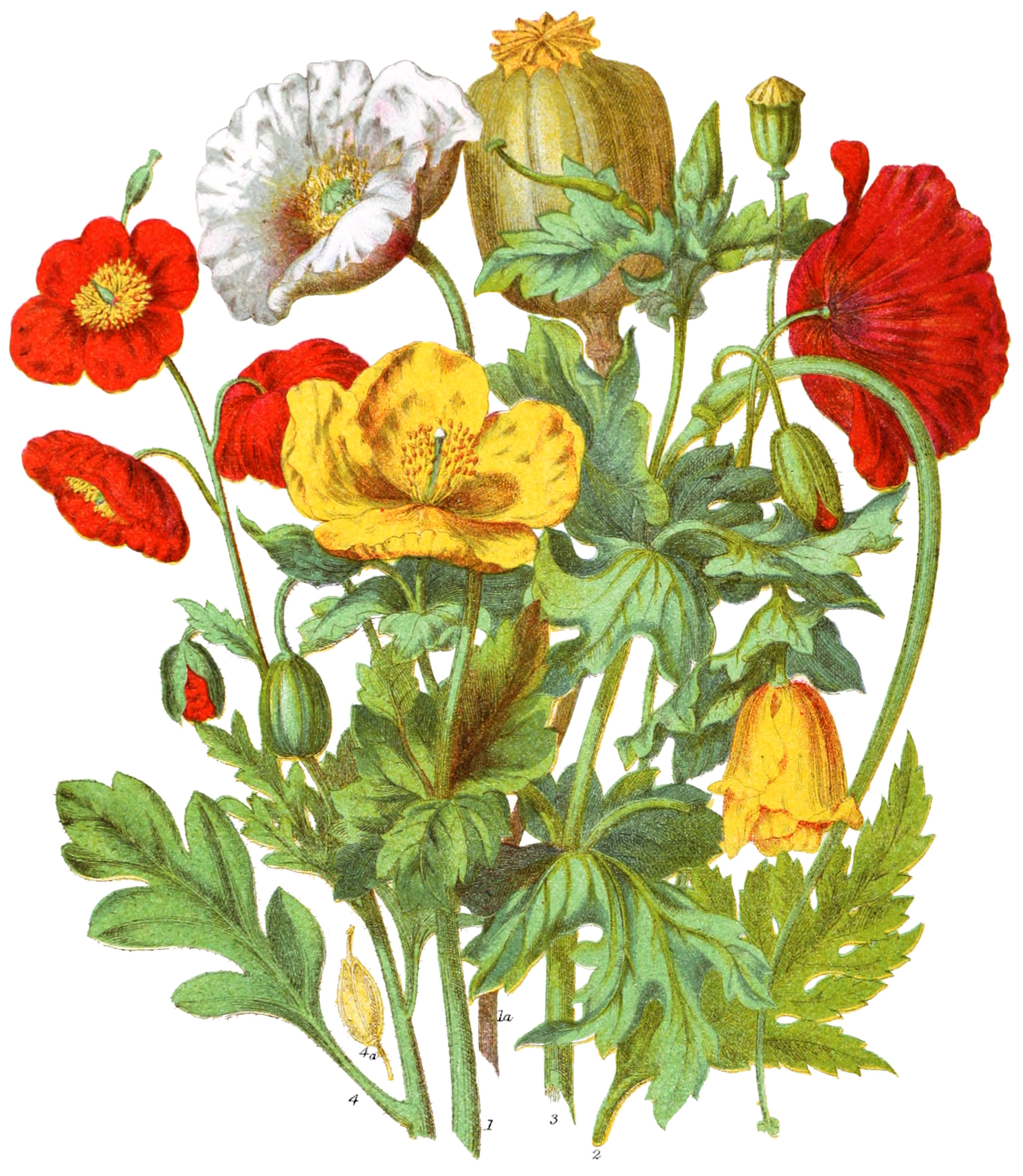 Vintage Botanical Prints - 64 in a series - Papaveraceæ, The Poppy Tribe from The Natural Order of Plants (1868)