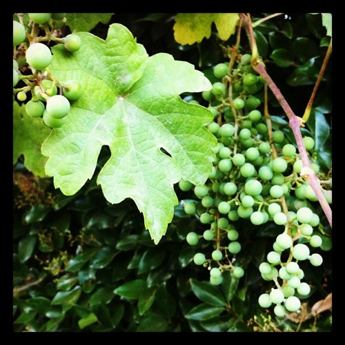 Grapes instagram