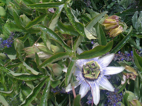 Passiflora found along our walk today