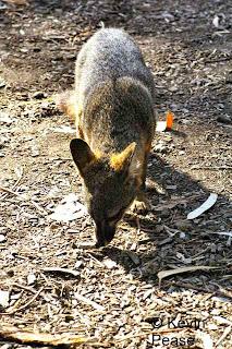 Event: Island Fox at Santa Barbara Zoo Science Day