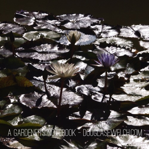 Skirball water lily