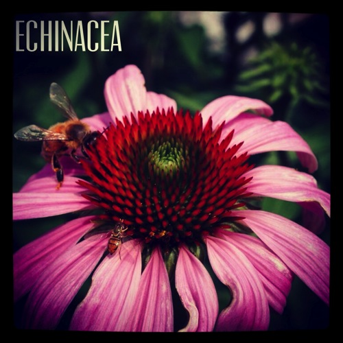 Photo: Bee on Echinacea at Oberlin College, Ohio