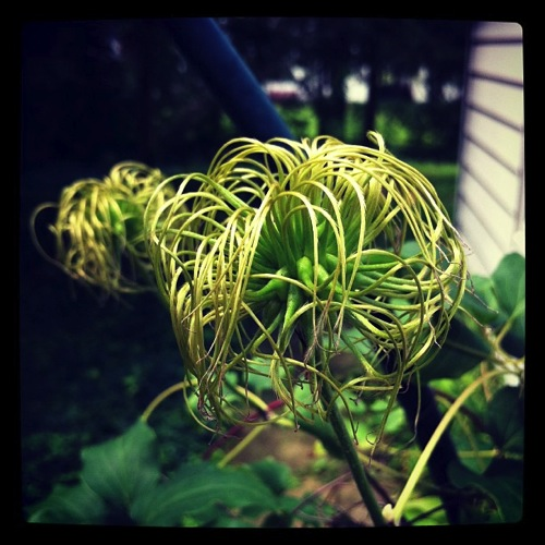 Photo: Spent Clematis Blossoms via #instagram