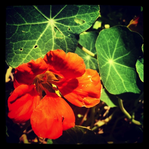 Photo: Nasturtium via #Instagram