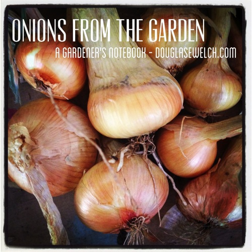 Photo: Onions from the Garden via #instagram