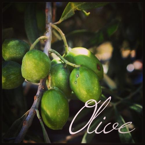 Photo: Olives near Morgantina, Sicily