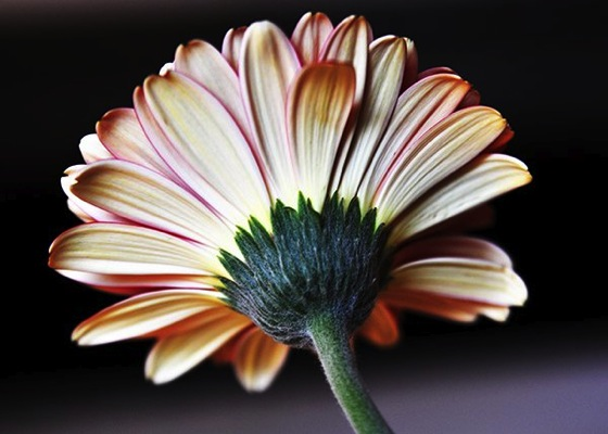 How to Photograph Flowers from Digital Photography School
