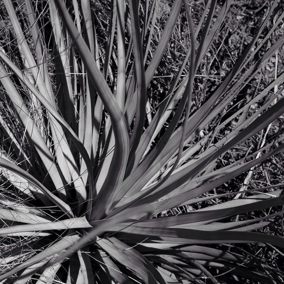 Photo: Yucca in black and white via #instagram