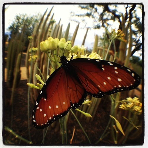 Photo: Butterfly on cactus flower, Sunnylands, Rancho Mirage, CA