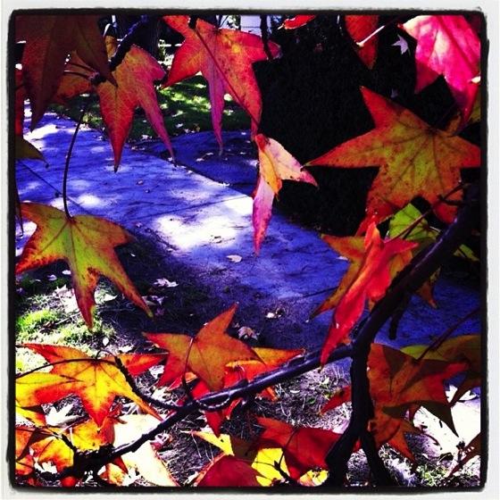 Photo: Winter leaves in Southern California vi #instagram