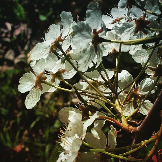 Photo: Flower Blossoms on Ornamental Pear via #instagram