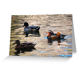 Duck cards sq