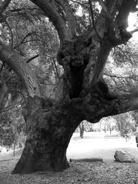 Oak Tree at Orcutt Ranch