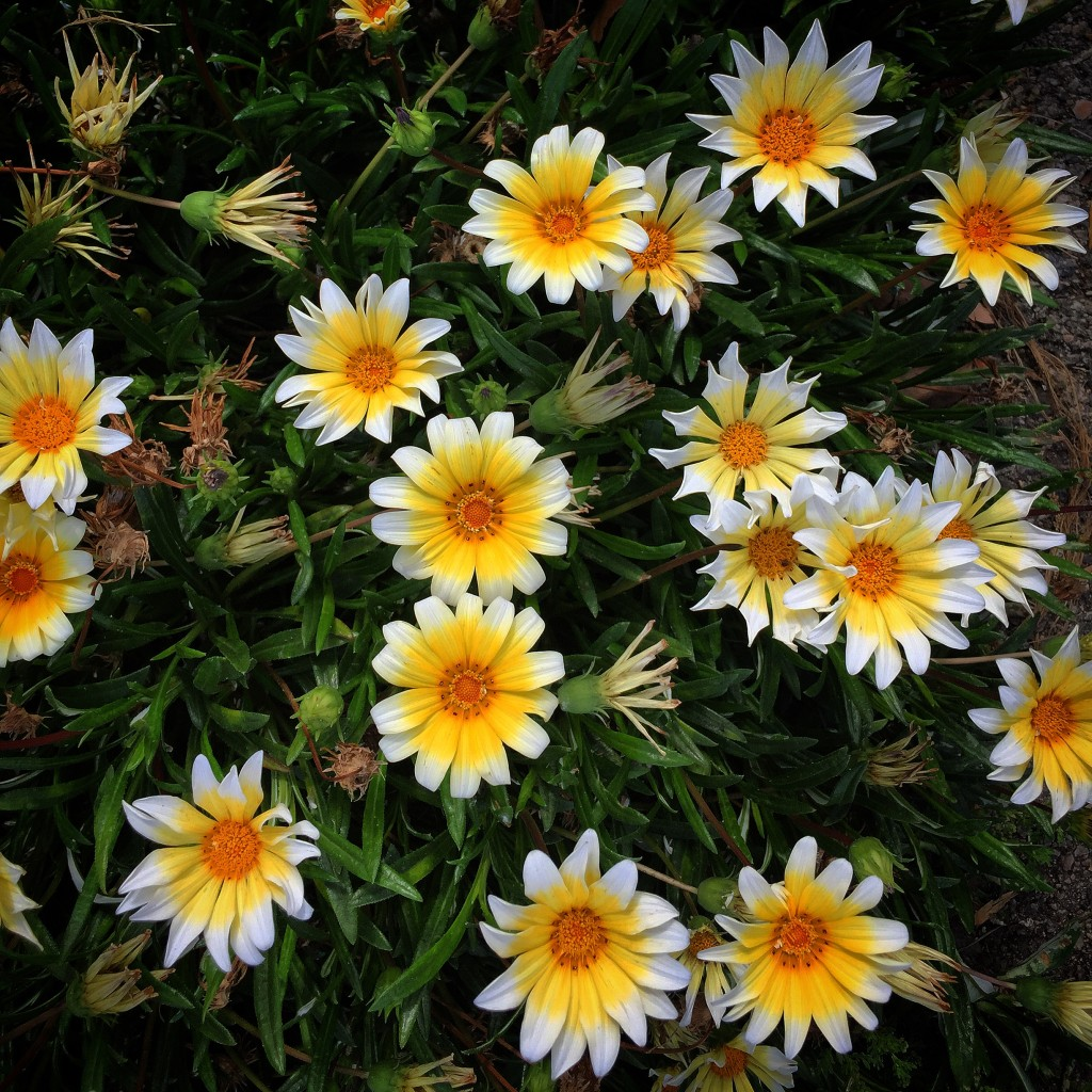 gazania-yellow-white