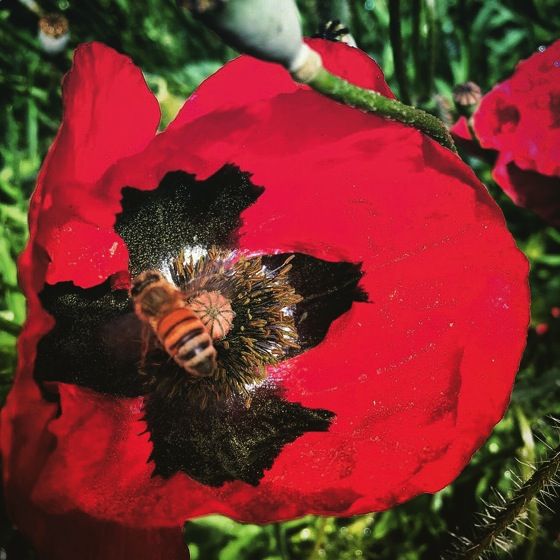 Poppy bee instagram
