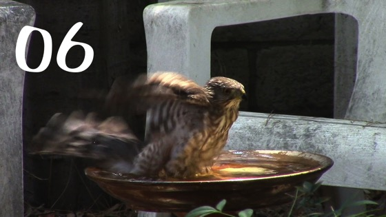 Cooper's Hawk (Accipiter cooperii): A Splash in the Birdbath - 6 in a series from My Word