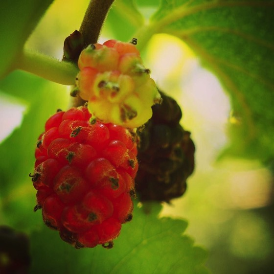 Mulberries/Gelsi ripening on the tree at The Old House on Mount Etna via Instagram [Photo]