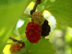 Mulberries  Gelsi ripening on the trees at The Old House