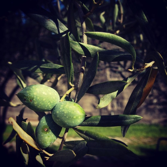 Olives in the Sicilian Garden #sicily #italy #olive #garden #tree #plants #food #fruit #travel