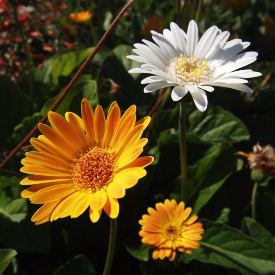 White and gold #nofilter #flowers #Gazania #garden #nature #plants #outdoors @armstronggarden