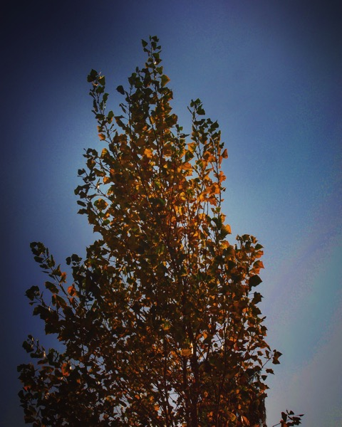 Cottonwood in Autumn [Photo]