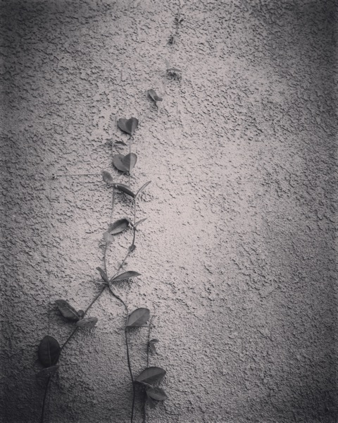On the wall #plants #garden #nature #bw #blackandwhite I#blackandwhitephotography #leaves #ivy #bnw