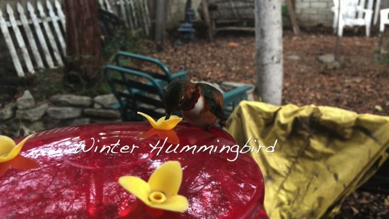 Winter Hummingbird - A Minute in the Garden 52 from A Gardener's Notebook