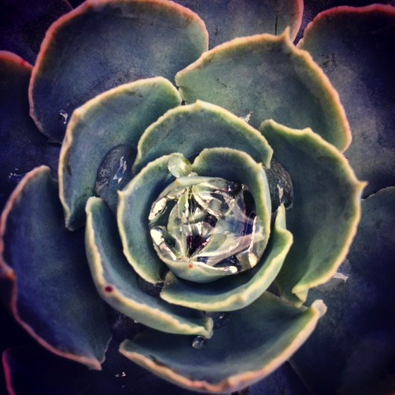 A succulent collects rain water