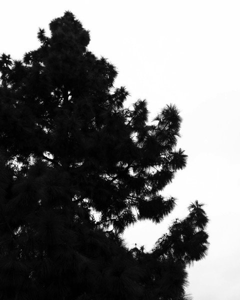 Winter Pine Silhouette