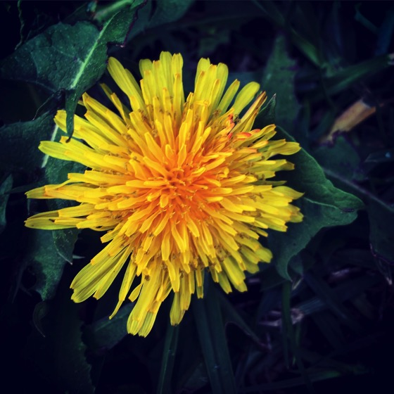 The Humble Dandelion