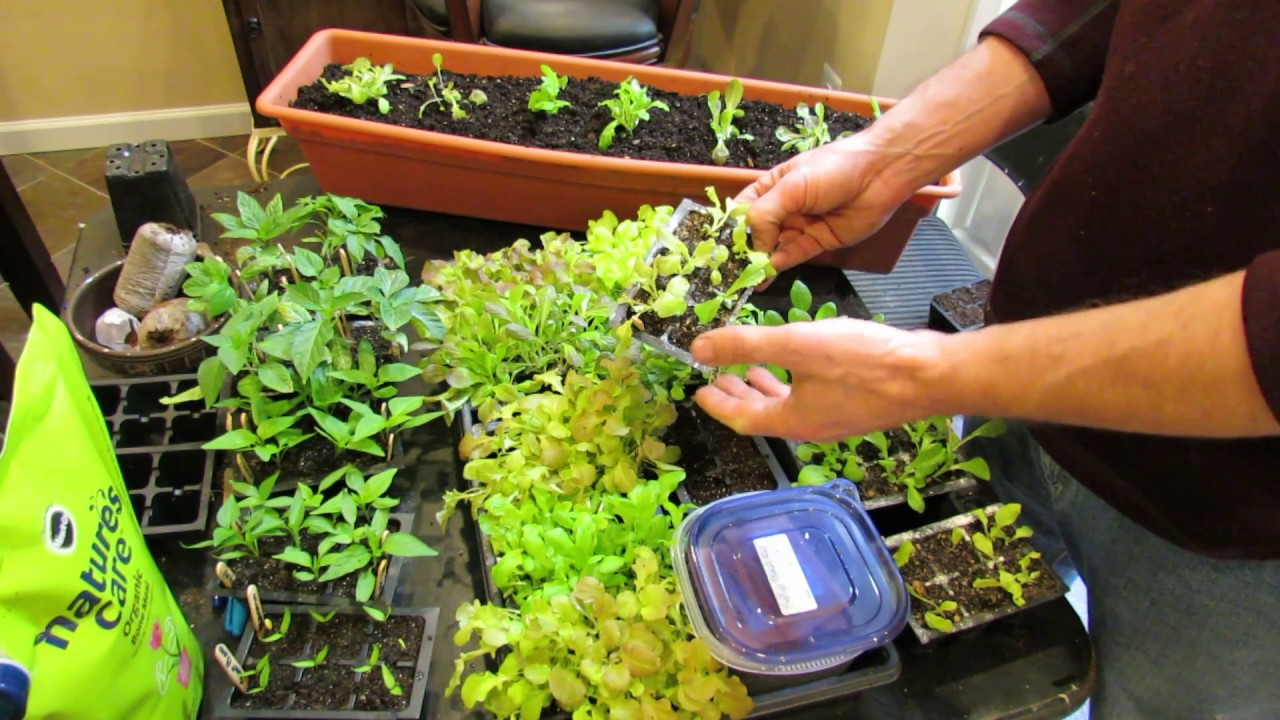 On YouTube: Over-Seeding Method for Loose Leaf Lettuce Transplants: The Whole Process!