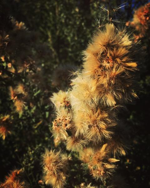 Mulefat Flowers, Sepulveda Basin Wildlife Reserve