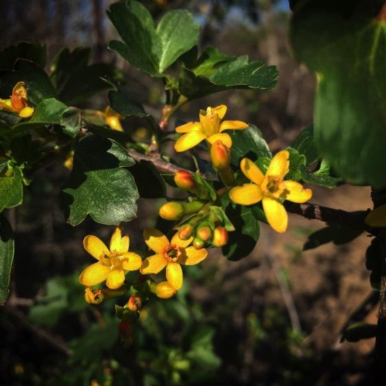 Small yellow flowers, Sepulveda Basin Wildlife Area