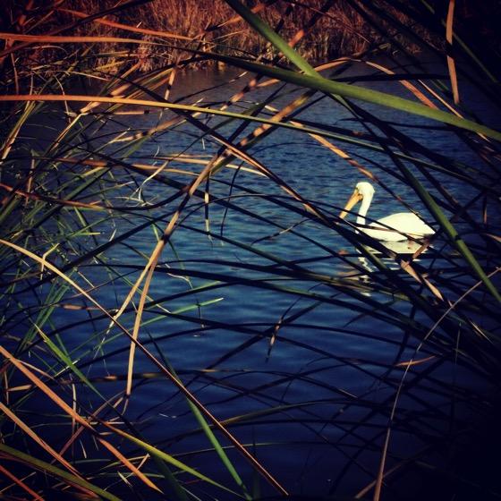 White Pelican Through the Reeds