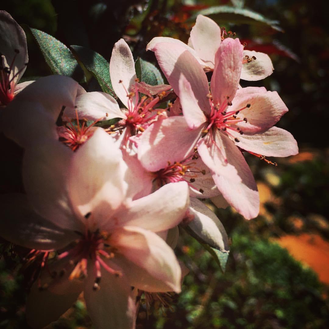Cherry Blossoms – Sakura