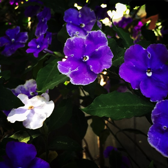 Brunfelsia/Yesterday, Today and Tomorrow