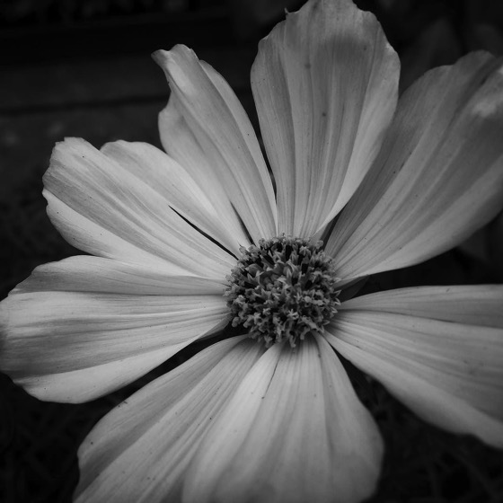 Flowering in Black and White