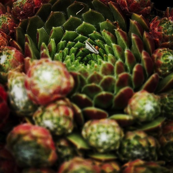 Hen and chicks (Sempervivum)