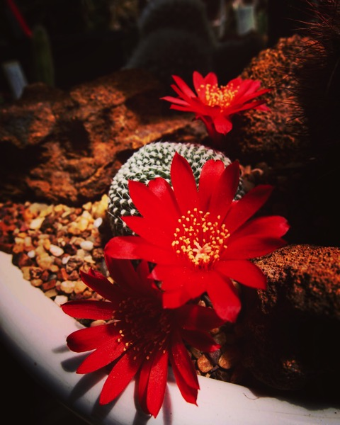 Red Cactus Flowers via Instagram