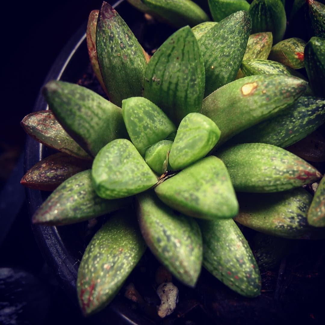 Succulent Closeup 2