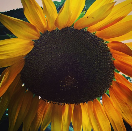 Sunflower closeup from neighbor's yard