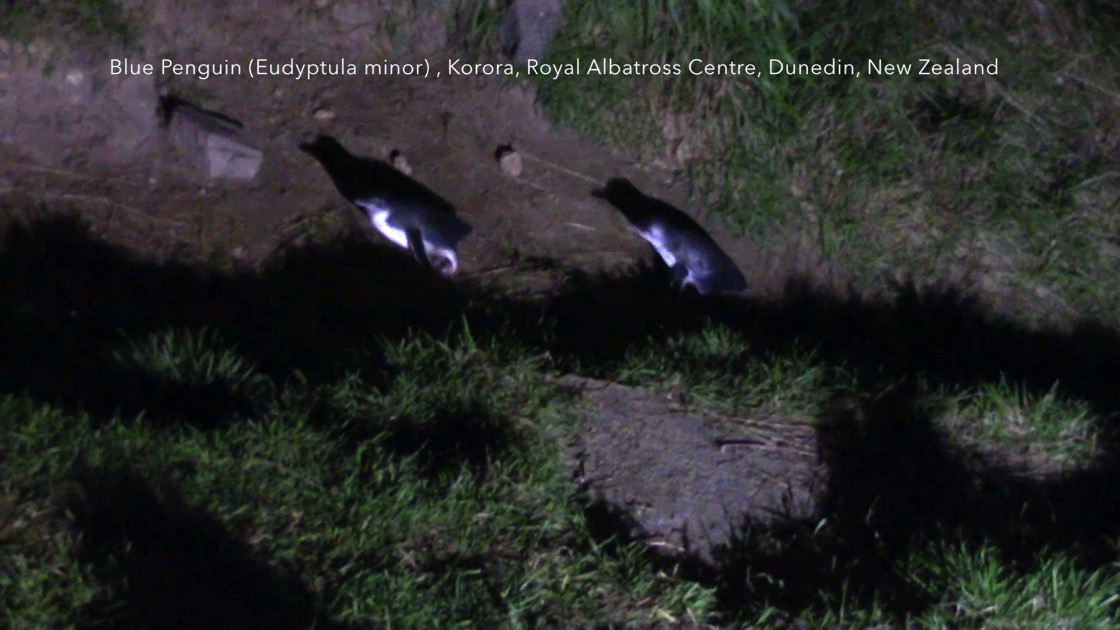 Little Blue Penguins (Eudyptula minor) - Korora (Maori), Royal Albatross Centre, Dunedin, New Zealand