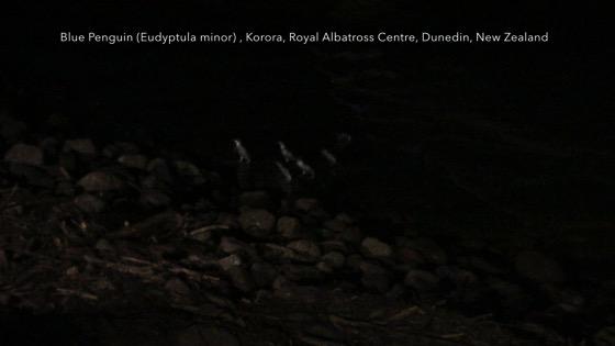 Little Blue Penguins 3 (Eudyptula minor) - Korora (Maori), Royal Albatross Centre, Dunedin, New Zealand