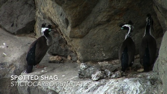 A Minute in New Zealand - Spotted shag (Stictocarbo punctatus) [Video] (1 min)