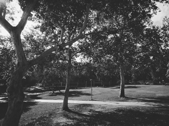 My Los Angeles 11 - Sycamore Trees at Cal Poly Pomona via Instagram